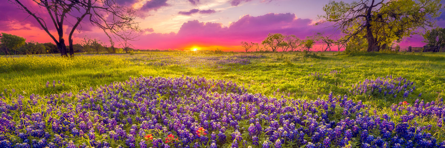 Sunset on a land full of bluebonnets